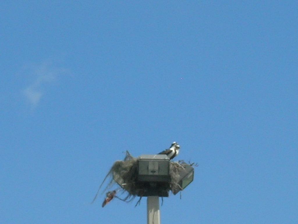 A pair of ospreys nesting on a streetlight kept watch over the field.