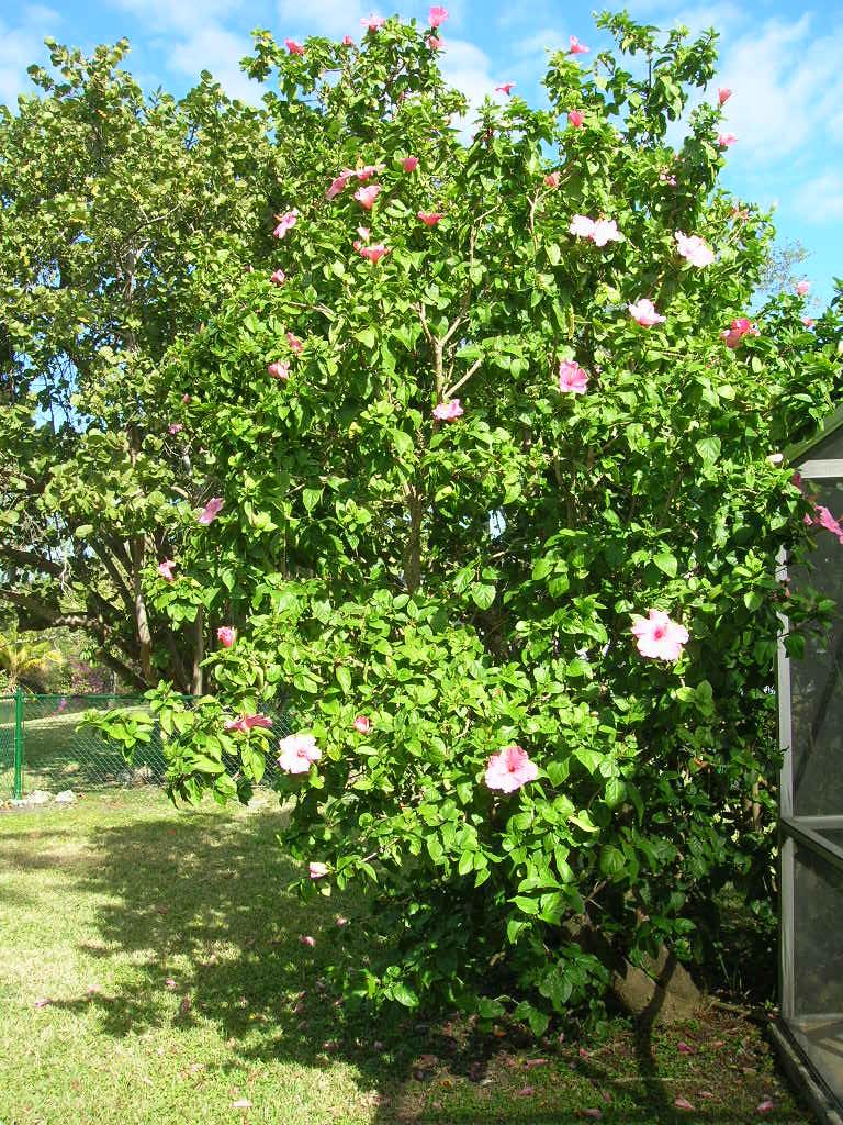 001 Hibiscus Tree 12-13-08