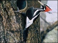 Ivory-billed Woodpecker 04-28-05