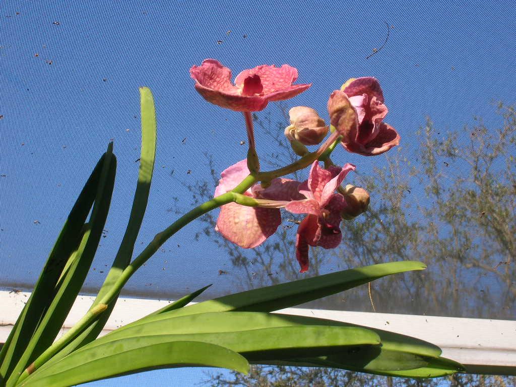 Vanda orchid in bloom.