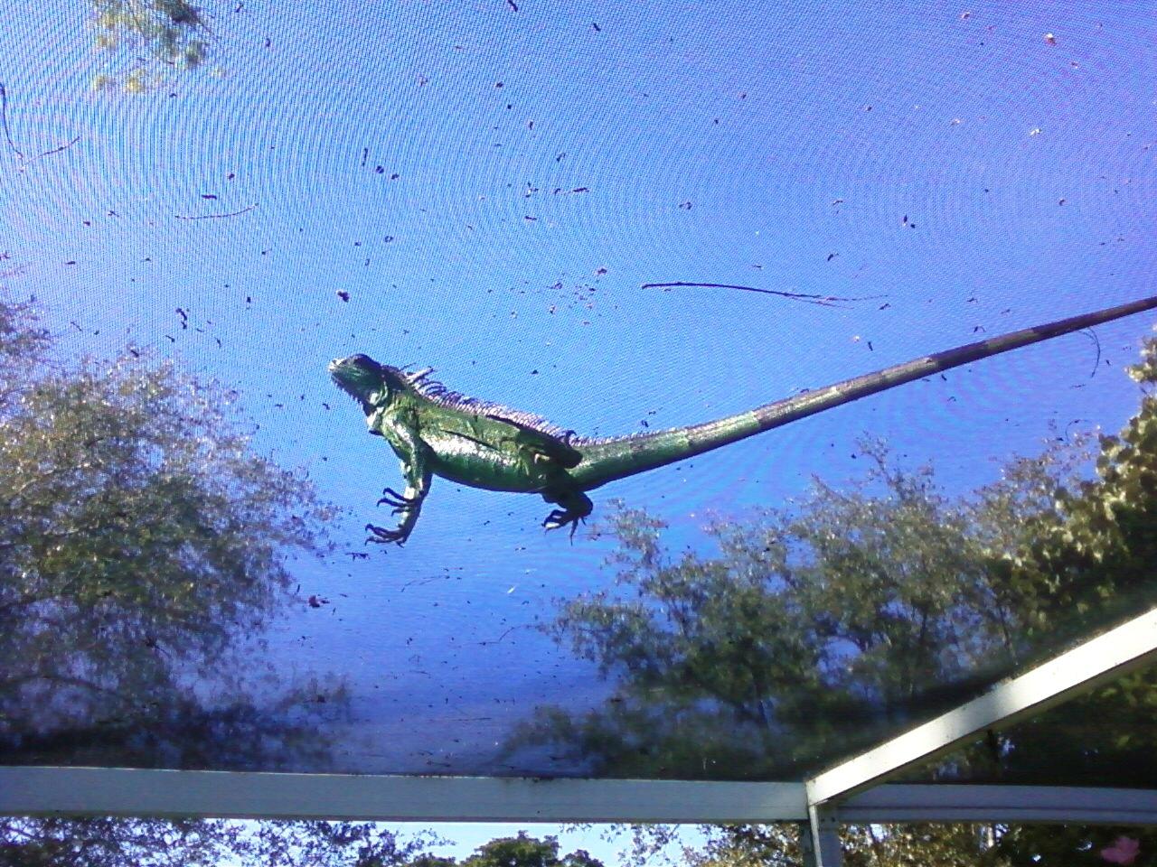 iguana-1-11-20-16